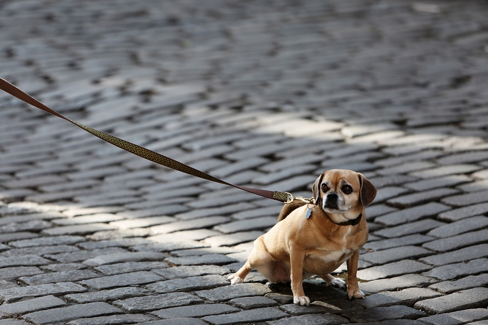 dog 926785 960 720 - How to Train Your Pup to Walk on a Leash